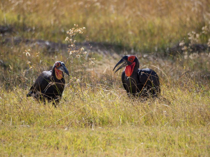 Two endangered southern ground hornbrill birds in savannah, moremi game reserve, botswana, africa