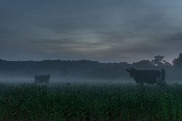 What - cows, Who - spending the night outdoors, Where - in fog Cow Darkness Field Fog Foggy Grass Nature No People Outdoors Tranquil Scene Tranquility What Who Where HUAWEI Photo Award: After Dark