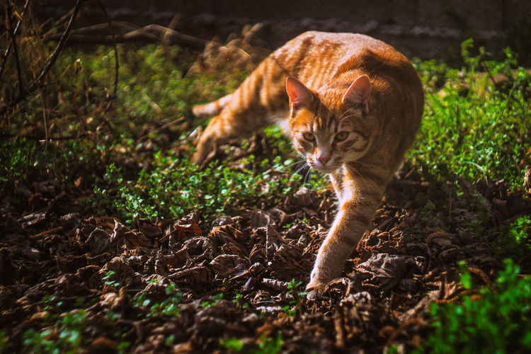 20170323 - Coming Animal Themes Cat Cat Lovers Catlovers Catoftheday Cats Cats Of EyeEm Cats 🐱 Catsagram Catsofinstagram Catsoftheworld Cat♡ Day Domestic Animals Domestic Cat Feline Grass Leopard Mammal Nature No People One Animal Outdoors Pets Tabby Cat