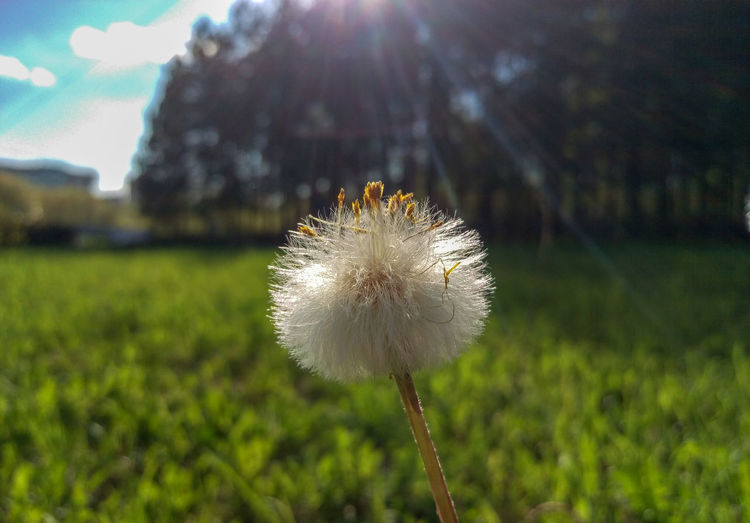 Close-up of dandelion on field against sky