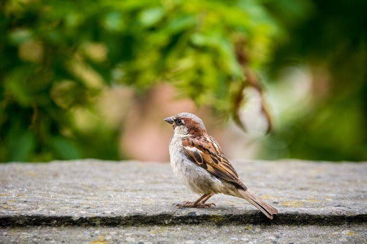 Sparrow Sparrow Spatz Bird Vogel Animal Wildlife Bird Photography Wings Beak Bamberg  Germany Nikon Telephoto Deutschland Michaelsberg Rosengarten Tiere