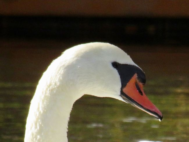 Swan headshot close up beauty in nature birdwatching beauty in nature Bird One Animal Focus On Foreground No People
