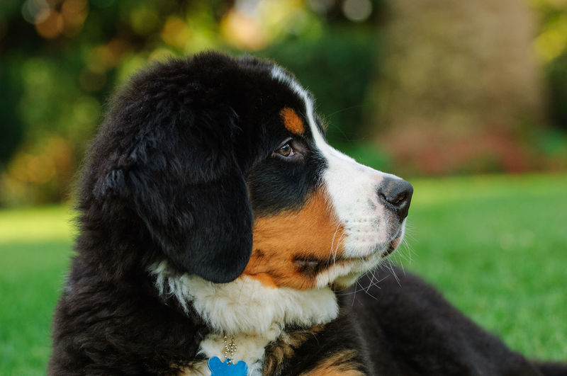 Bernese Mountain Dog puppy Animal Animal Head  Animal Themes Bernese Bernese Mountain Dog Canine Close-up Cute Day Dog Dog Photography Domestic Animals Looking Looking Away Mountain Dog No People One Animal Outdoors Pets Portrait Profile View Puppy Young Animal