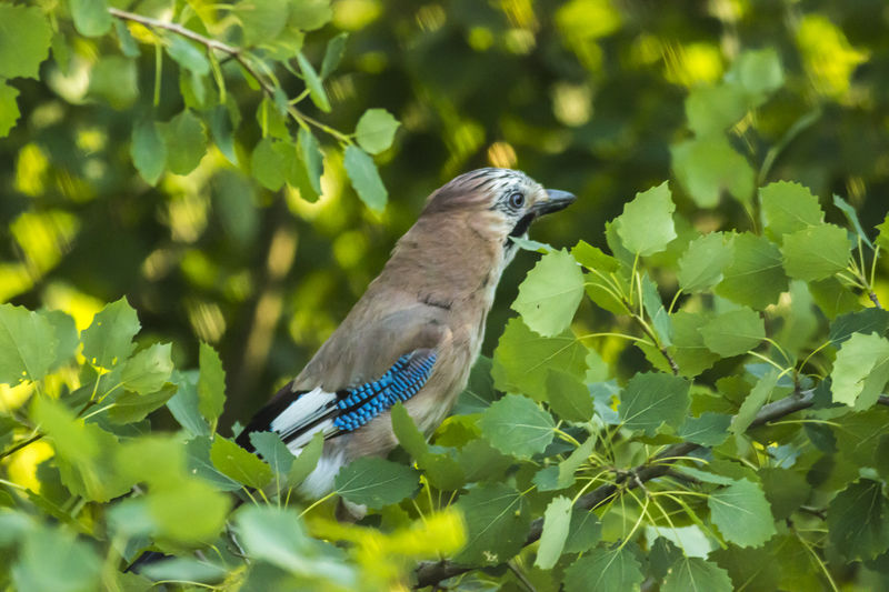An eurasian jay on a branch Branches Eurasian Jay Feathers Garrulus Glandarius Jay Bird Nature Songbird  Wood Animal Animals Bird Birds Birds Life Birds Wordld Blue Branch Branchlet Jay Landscape Meadow Outdoors Singing Bird Wildlife