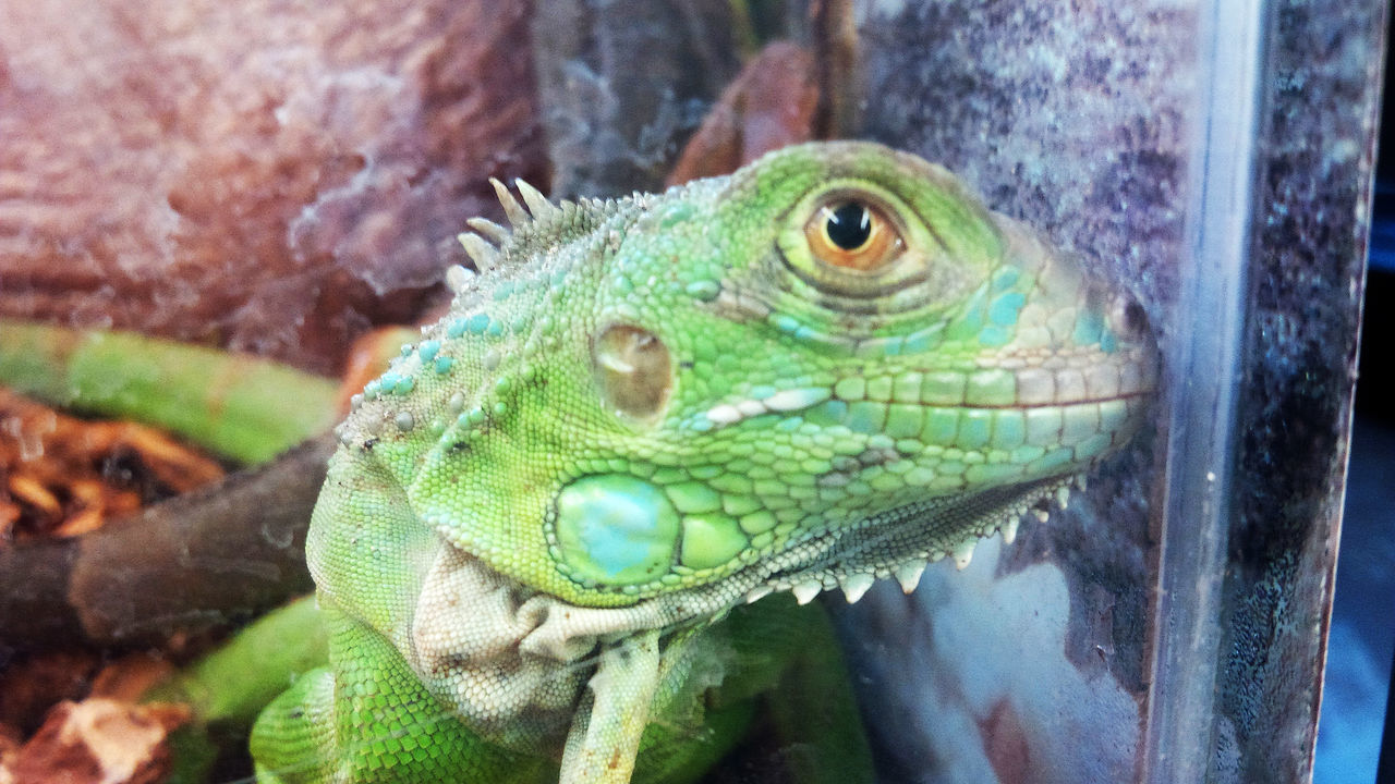 animal wildlife, reptile, animals in the wild, animal themes, close-up, green color, one animal, day, no people, focus on foreground, outdoors, chameleon, nature, iguana