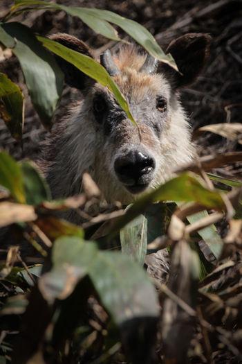 Animals Japanese Serows Wildlife Mountains Mountain Goat Forest Nature