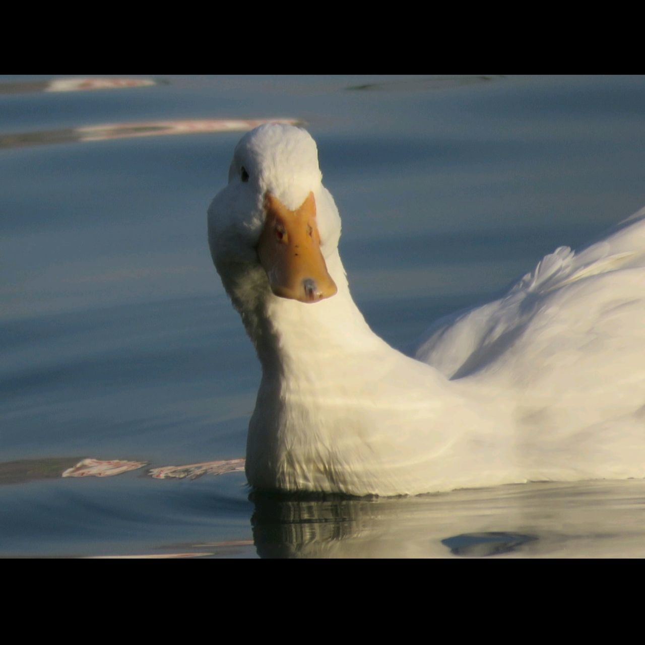 CLOSE-UP OF SWAN SWIMMING ON LAKE AGAINST SKY