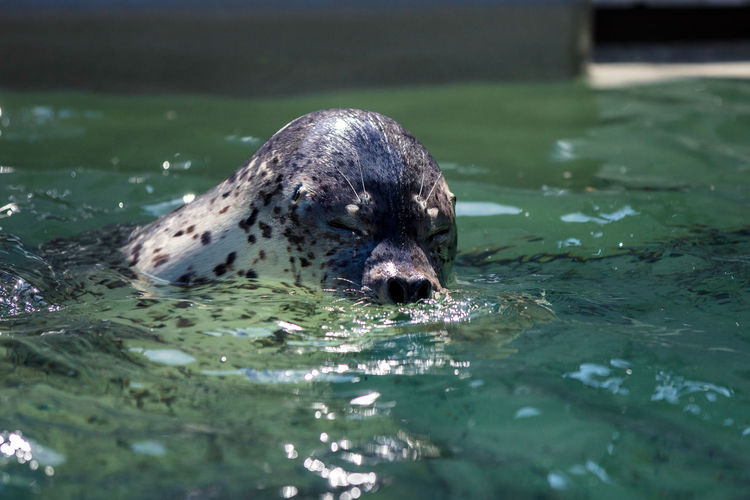 Pool, Summer,hoy,sun,beach,vacation Animal Animal Body Part Animal Head  Animal Portrait Animal Themes Aqualife Aquarium, Fish, Day Expression, Face Mammal No People One Animal Outdoors Seal Selective Focus Spotted Seal Suma Aqualife Park Water