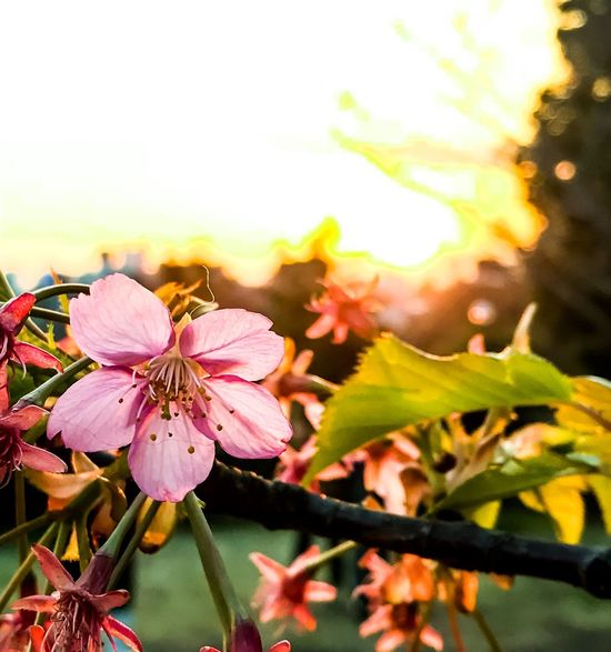 Evening cherry blossom Beauty In Nature Sea And Sky Scenics Tranquil Scene Sunset Springtime Spring Flowers Pink Flower Pink Petals🌸 Petals Sunshine Sunbeams Copyspace Iphone7plusphoto Iphone7photography