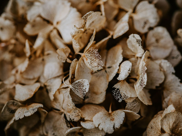 Macro photo of decaying hydrangea Dry Close-up No People Flower Full Frame Backgrounds Plant Nature Beauty In Nature Vulnerability  Fragility Flowering Plant Focus On Foreground Pattern Petal Abundance Selective Focus Day Flower Head Wilted Plant Dried