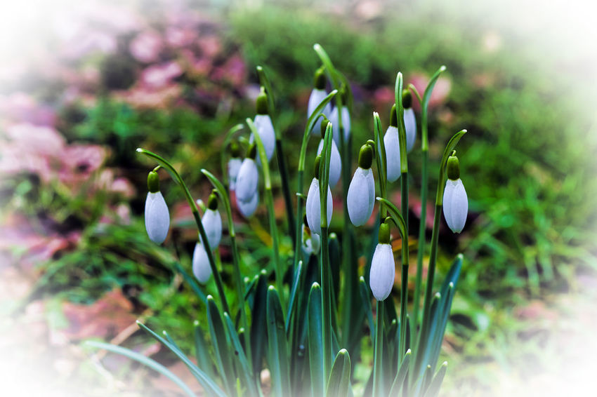 Beauty In Nature Flower Flower Head Fragility Freshness Growth Nature Petal Snowdrop