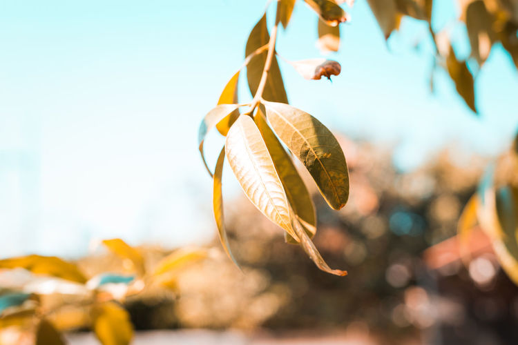 Close-up of autumn leaves hanging against sky
