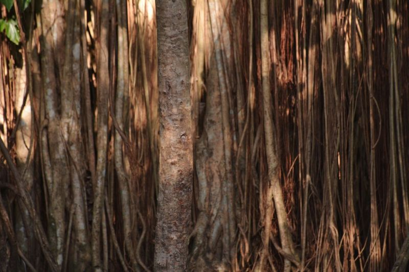 Wall of Bunyan tree roots Tree Roots Roots Of Tree Banyan Tree Banyan Tree Roots Full Frame Backgrounds Wood EyeEm Selects Tree Trunk Tree Backgrounds Full Frame Nature Textured  Day No People Close-up Outdoors Brown Textured  Wood - Material