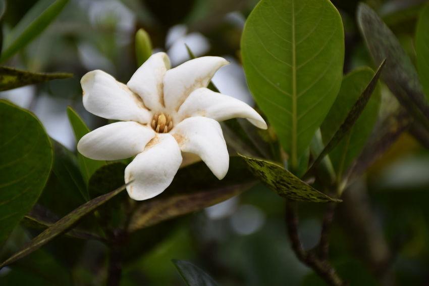 Beautiful Flowers Monoi Moorea Nature NIKON D5300 Tahiti Tree