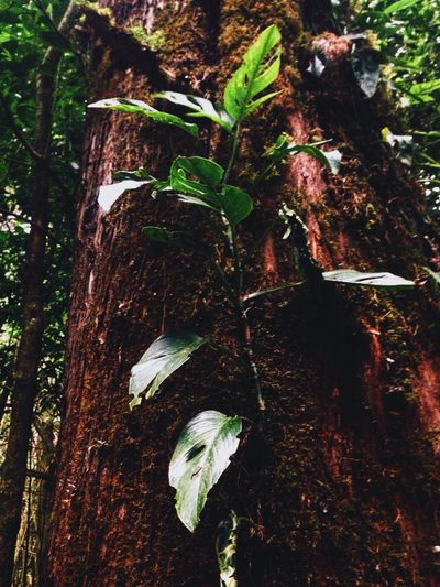 Tree Leaves Look Up Beauty Nature Bosque De La Hoja Brown Pretty Leave Forest Road Trip Sky Light Tall Costa Rica