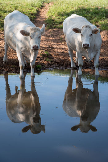 Animal Themes Cow Day Domestic Animals Farm Livestock Mammal Nature No People Outdoors Reflection Water
