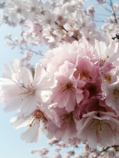 Abundance Beauty In Nature Blossom Botany Branch Bunch Of Flowers Cherry Blossom Cherry Tree Close-up The EyeEm Collection Flower Flower Head Fragility Freshness Full Frame Growth In Bloom Nature Petal Pink Color Pollen Scenics Selective Focus Springtime Tree