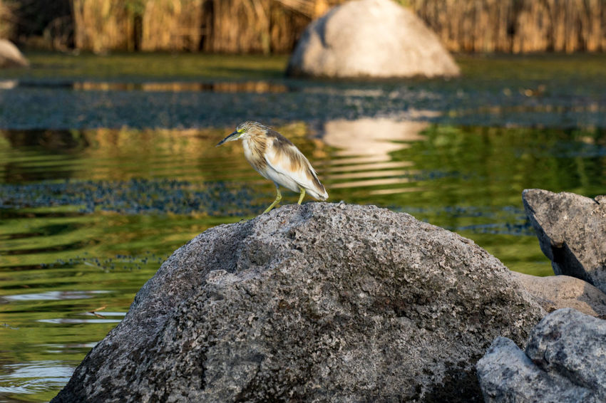 Capture of wildlife at Nile river. Bird Photography Environment Nature Outdoors River Rock Water Wildlife & Nature