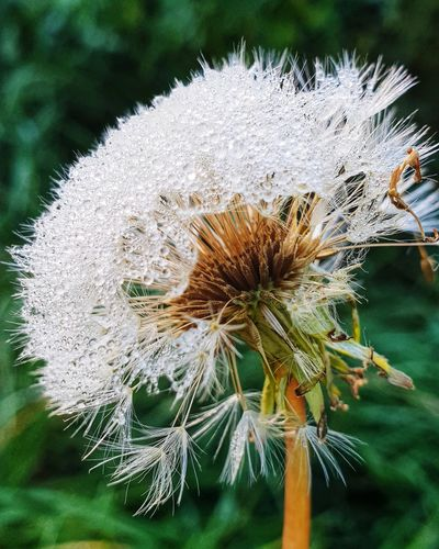 autumn Moment- dandelion with waterdrops Dandelion Dandelions Water Waterdrops Waterpearls Pearls Simple Life Autumn Autumn Collection Autumn Moments Moments Dandelion Close-up Morning Eastern Purple Coneflower Uncultivated Plant Pollen Dandelion Seed Plant Life Wildflower Botany A New Beginning
