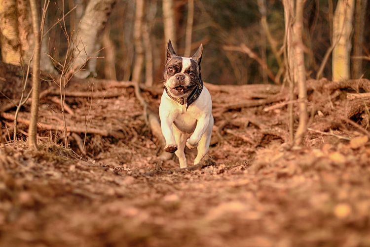 Abendsonne Animal Themes Crazy Looking French Bulldog Dog Dog Having Fun Dog In The Forest Dog With A Stick Dogs Evening Sun Französische Bulldogge  Französische Bulldogge Guckt Lustig French Bulldog French Bulldog In The Wood French Bulldog Looks Funny Frenchbulldog Funny Looking Dog Funny Looking French Bulldog Having Fun Hund Hund Mit Stock Hunde Hundespaß Lustig Aussehende Französische Bulldogge Mad Dog Outdoors