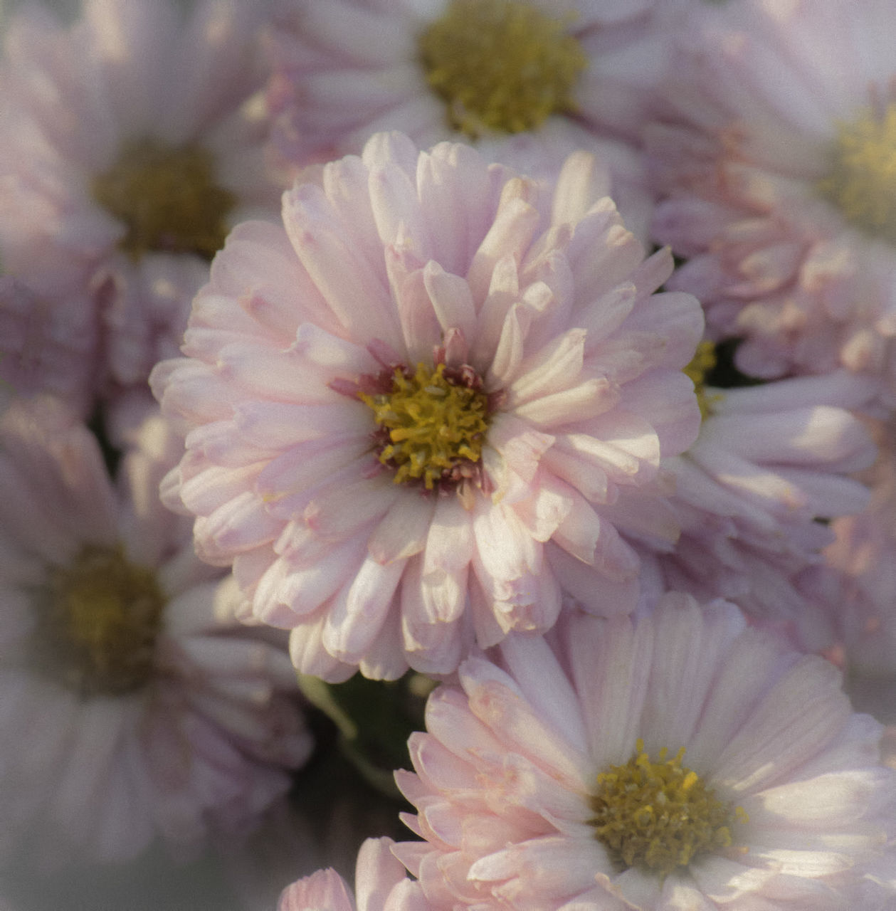 flower, petal, beauty in nature, nature, flower head, no people, plant, growth, fragility, freshness, close-up, blooming, day, outdoors