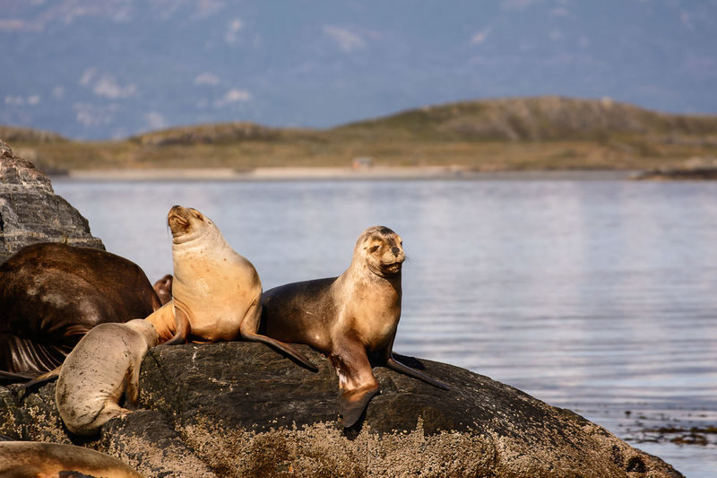 Sea lions relaxing by water