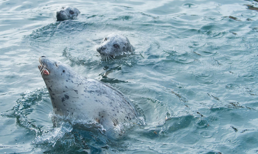 Seals swimming in sea