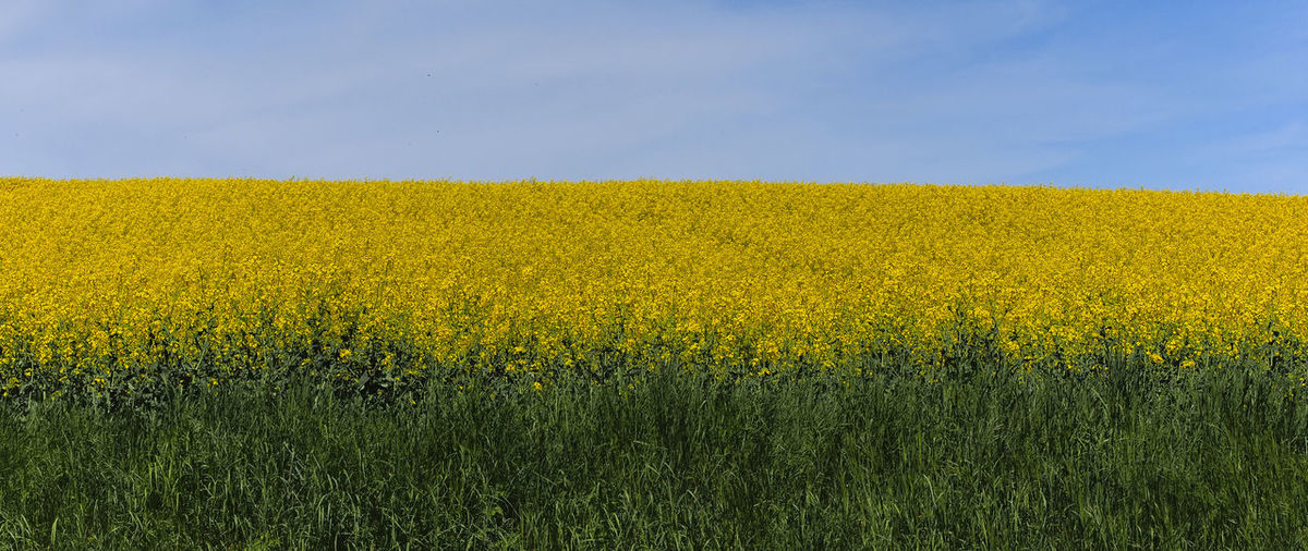 Barnim Rapsfeld Agriculture Beauty In Nature Crop  Environment Farm Field Flower Growth Land Landscape Nature No People Oilseed Rape Outdoors Plant Rural Scene Scenics - Nature Sky Springtime Tranquil Scene Tranquility Yellow