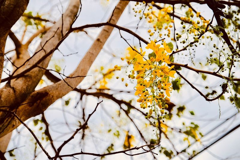 golden rain tree, start blooming Springtime Blossom Blooming Flower Winter Outdoors Close-up Snow Freshness Yellow Day Nature Vulnerability  White Color Low Angle View Fragility No People Growth Beauty In Nature Flower Flowering Plant Branch Tree Plant Vulnerability  Flower Head Spring Cherry Blossom