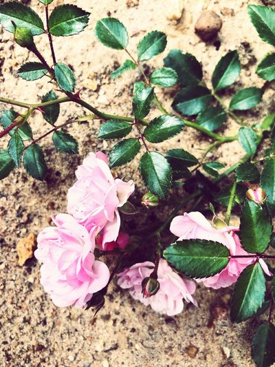 High angle view of pink roses on plant