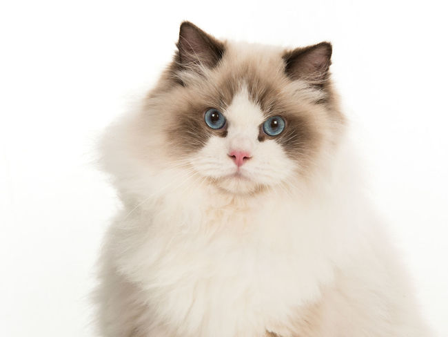 Pretty adult rag doll cat with blue eyes portrait looking at camera on a white background Blue Eyes Animal Themes Cat Cat Portrait Domestic Animals Domestic Cat Feline Looking At Camera Pets Portrait Purebred Cat Rag Doll Cat Ragdoll Ragdoll Cat Studio Shot White Background