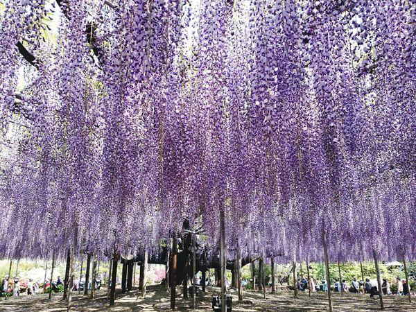 群馬 あしかがフラワーパーク Japanese  お出掛け Enjoying Life Flower Tree