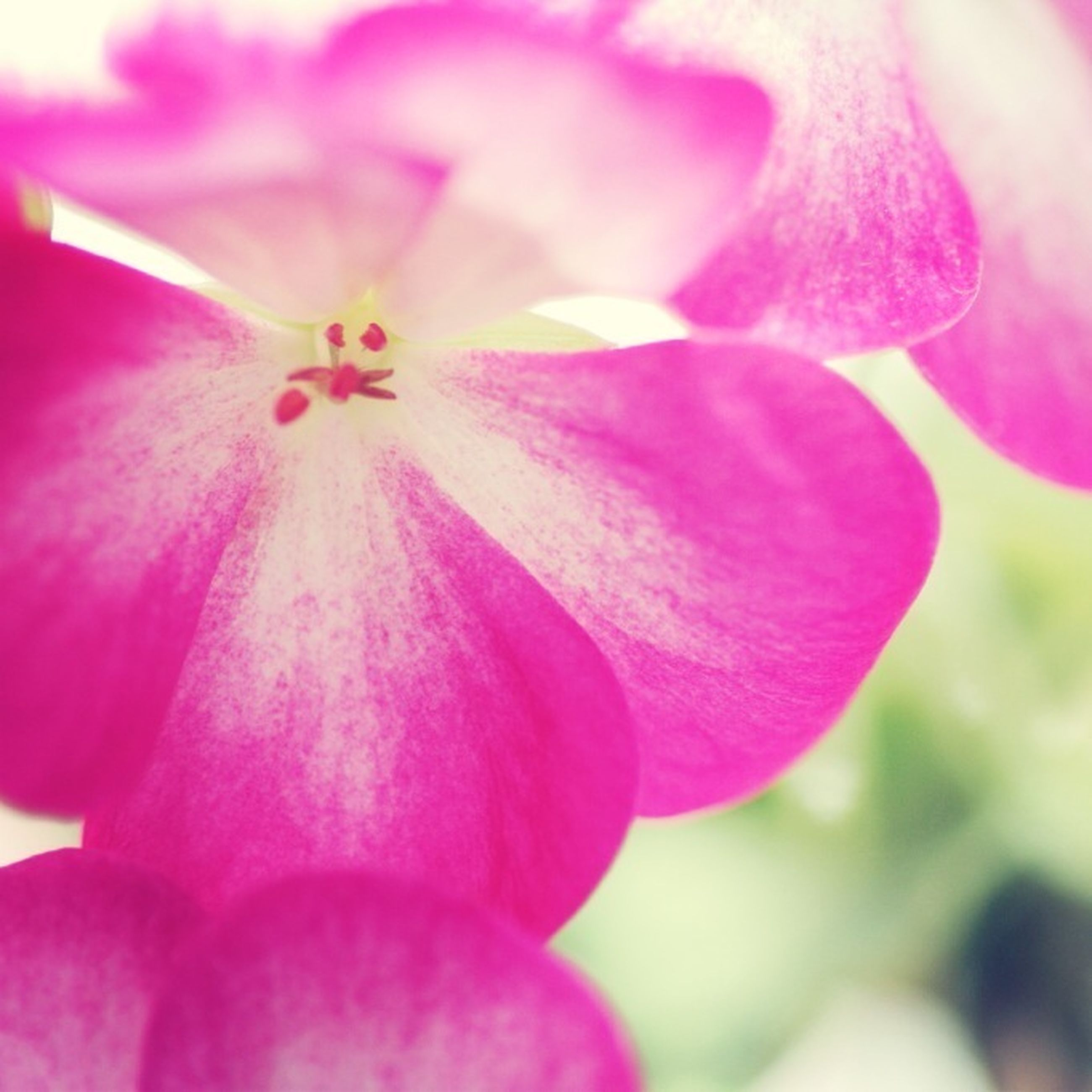flower, petal, freshness, flower head, pink color, fragility, close-up, beauty in nature, growth, stamen, nature, single flower, blooming, pollen, focus on foreground, pink, plant, in bloom, selective focus, macro