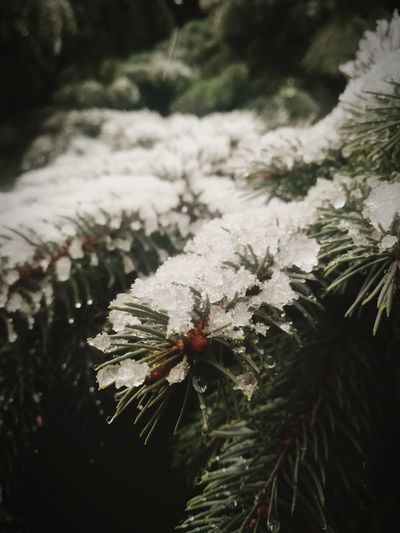 Let it snow 👍 Today's Hot Look View Gettyimages Strong Sale Premium Forsale EyeEm Getting Inspired Davidnagy ChekThisOut Picoftheday Photography Letitsnow Gallery Picoftheday Snow christmas tree Christmas Nature Pine Tree Winter No People Tree Snow Cold Temperature Beauty In Nature Outdoors Snowflake Day