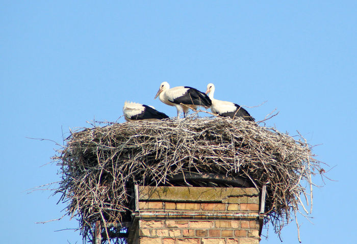 Three young storks in Nest Beauty In Nature Bird Bird Photography Birds Birds Of EyeEm  Birds_collection Birds🐦⛅ Nature Outdoors Storchennest Stork Stork Nest Stork's Nest Storks Störche Wildlife Young Birds