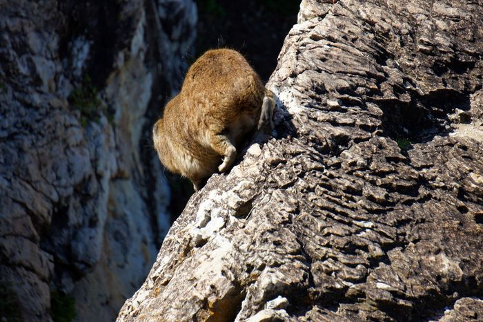 Animal Animal Themes Animal Wildlife Animals In The Wild Baboon Brown Climbing Dassie Day Mammal Monkey Nature No People One Animal Outdoors Primate Rock Rock - Object Rock Formation Solid Tree Vertebrate