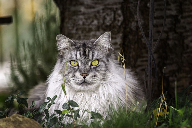 Close-up portrait of maine coon cat relaxing on field