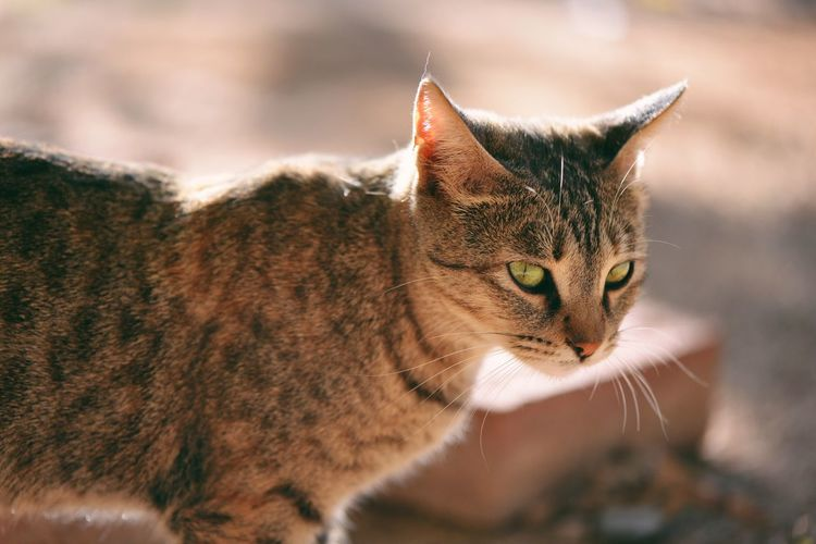 Feline Cat Animal Themes Animal Domestic Cat Domestic Pets Domestic Animals Day No People Close-up