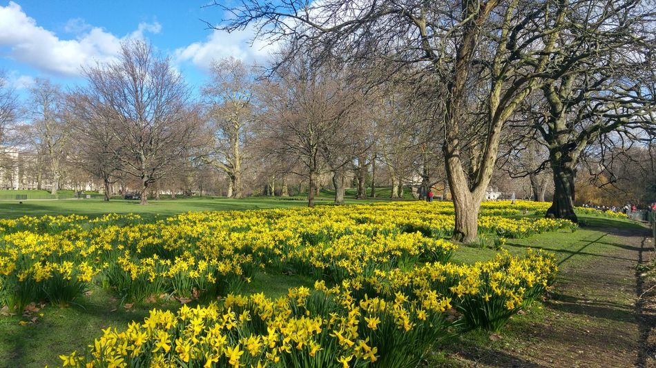 Yeah Springtime! Taking Photos London London_only Nature Photography Nature_perfection Nature_collection Dafodils St James Park  St James Park London  St James's Park Sky And Clouds Clouds And Sky Yellow Flowers Yellow And Green Landscapes With WhiteWall Nature And Life The Great Outdoors With Adobe The Street Photographer - 2016 EyeEm Awards Nature Diversities 43 Golden Moments