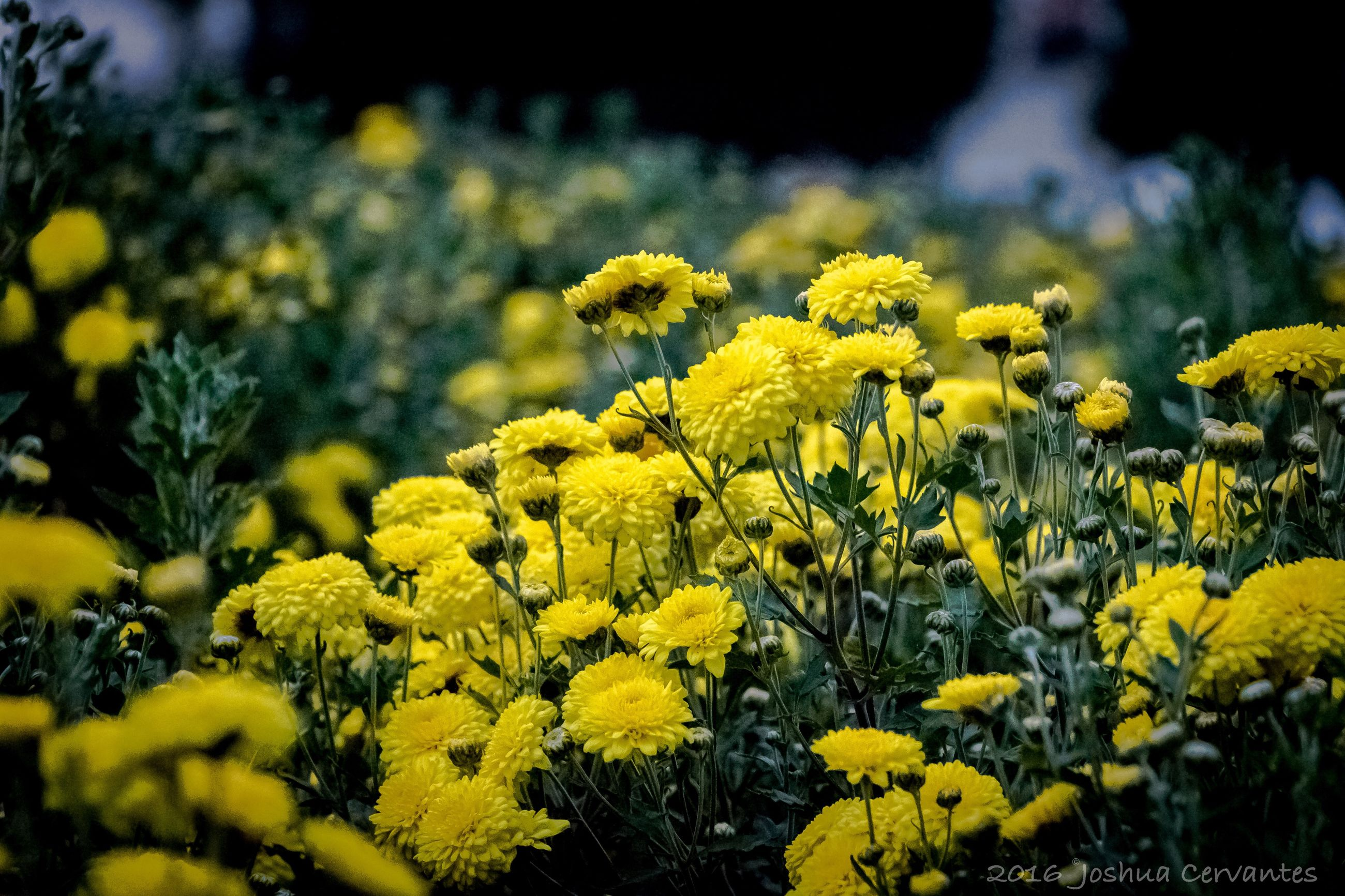 freshness, yellow, fragility, flower, growth, petal, season, beauty in nature, vibrant color, springtime, flower head, in bloom, close-up, nature, plant, blossom, botany, macro, selective focus, day, field, blooming, flowering plant, focus on foreground, bloom, soft focus, wildflower, uncultivated, formal garden