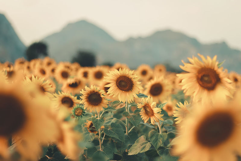 Sunflowers in the field. Flowering Plant Flower Plant Freshness Beauty In Nature Growth Selective Focus Fragility Vulnerability  Close-up Nature Petal Inflorescence Mountain Day Yellow Sunflower Pollen Leaf Landscape Natural Blomming Floral