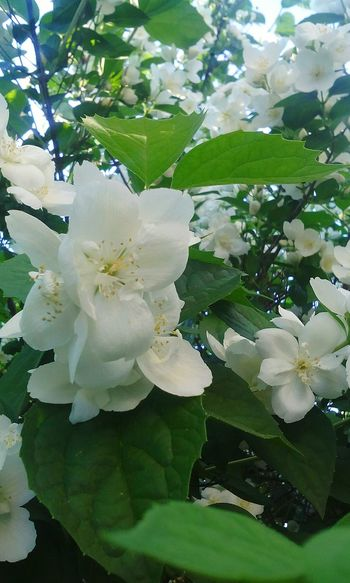 Growth Nature Beauty In Nature White Color Flower Flower Head Fragility Freshness Petal Close-up Outdoors No People Leaf Green Color Tree Plant Day красиво тепло весна природароссии Природа цветы солнце Весна💐🌷🌿