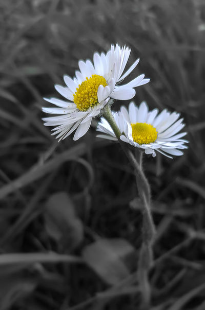 love knots Beauty In Nature Blooming Close-up Daisy Flower Day Flower Flower Head Fragility Freshness Growth Nature No People Outdoors Petal Pollen Yellow