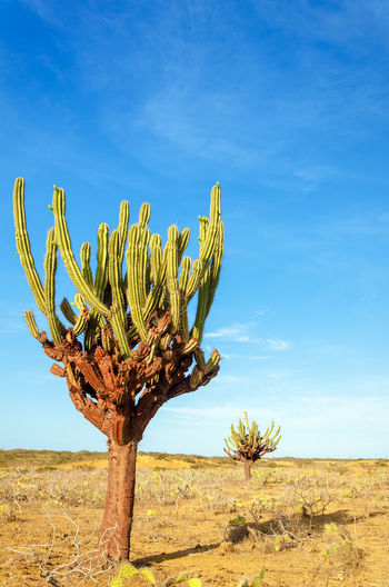 Two tall cactuses in an otherwise dry barren desert in La Guajira, Colombia America Arid Colombia Country Countryside Desolate Dry Earth Environment Ground Guajira Horizon Hot Isolated Land Landscape Natural Nature Outdoors Sand Scene South Summer Travel Waterless