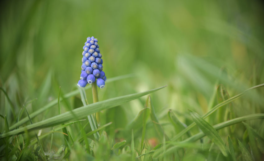 Single Grape Hyacinth Muscari in a Meadow Plant Growth Field Nature Freshness Flower Selective Focus Flowering Plant Land Green Color Vulnerability  Fragility Beauty In Nature Close-up Hyacinth Grass Day Purple No People Outdoors Flower Head Muscari Meadow Flowers Meadow EyeEm Nature Lover EyeEm Selects Spring Flowers Blue Blossom One Blossom Garden Flowers Environment Enjoying The View Perspectives on Nature Makro Photography Sight Green Nature Garden