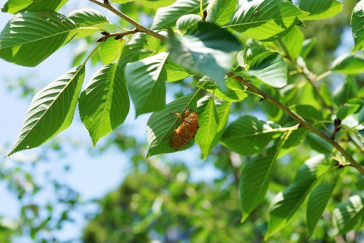 蝉の抜け殻 Cicada
