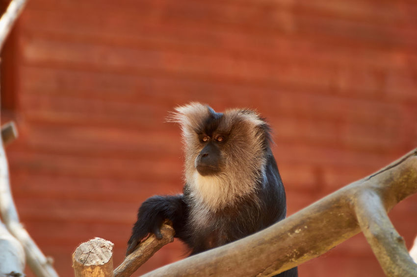 Lion-tailed macaque (Macaca silenus) EyeEm Best Shots EyeEmNewHere Lion-tailed Macaque Macaca Silenus Animal Wildlife Animals In The Wild Branch Brick Close-up Day Focus On Foreground Looking Mammal Nature No People One Animal Primate Sitting Tree Vertebrate Zoology