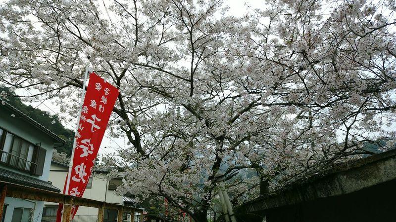 2015-4-4 Hello World Hanami Charry Flowers Culture Of Japan Emotional Sakura Trees Railway Station Japan Photography Osaka Japan Ultimate Japan