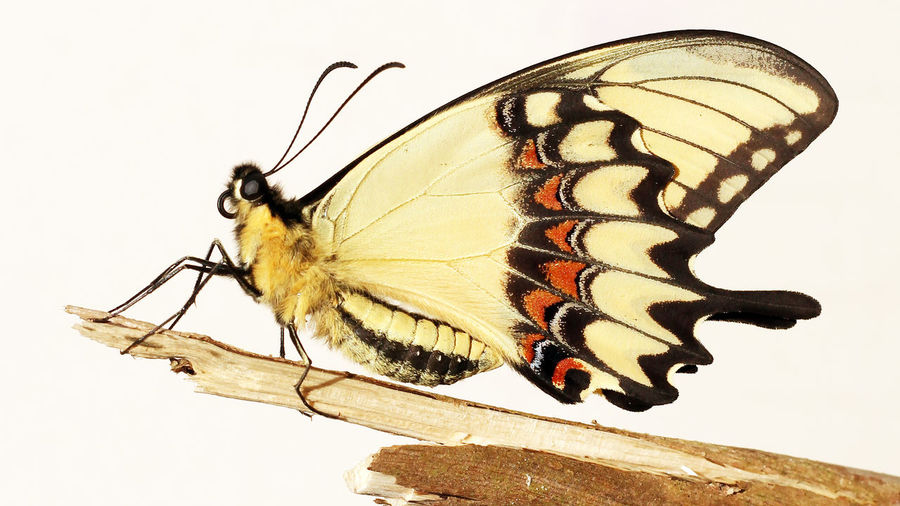 Close-up of butterfly perching on umbrella