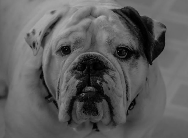 Gotta Love That Face Animal Themes B & W Portrait Black And White Black And White Photography Black And White Portrait Bulldog Bulldogs Close-up Day Dog Domestic Animals English Bulldog English Bulldog English Bulldogs Indoors  Looking At Camera No People One Animal Ontario, Canada Pet Portrait Pets Portrait Puppy Eyes Showcase October The Week On EyeEm Pet Portraits